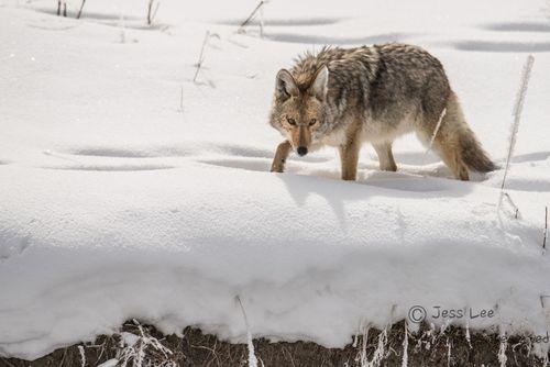 coyotelookingsnow(1).jpg
