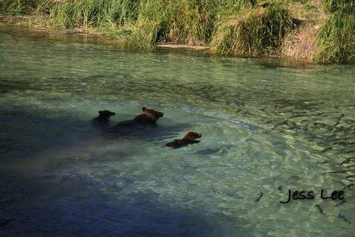 Al;aska bears fishing for Salmon
