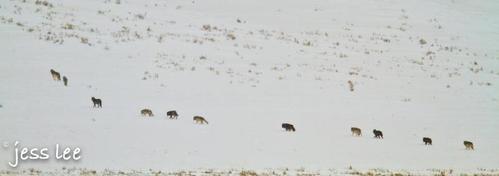drudwolves(1).jpg
