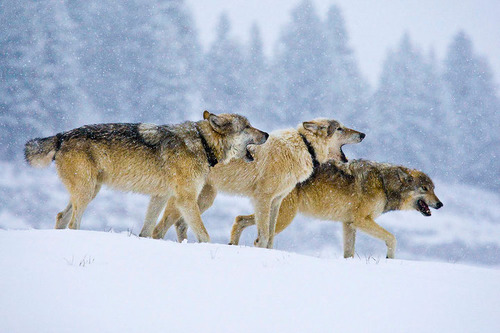 howling-Yellowstone-Wild-wolves.jpg