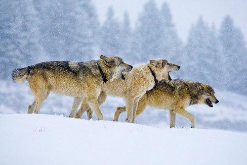 howlingwolver(1).jpg