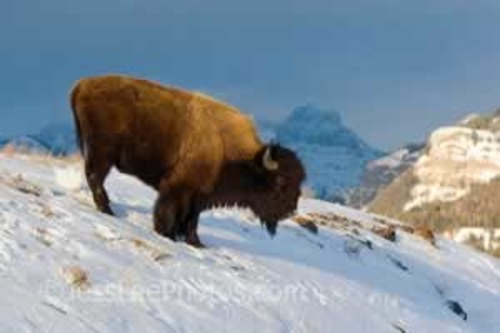 Yellowstone Bison in Winter snow