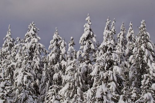 snowtrees(1).jpg