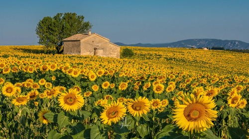 sunflowers-1608-f13c1.jpg