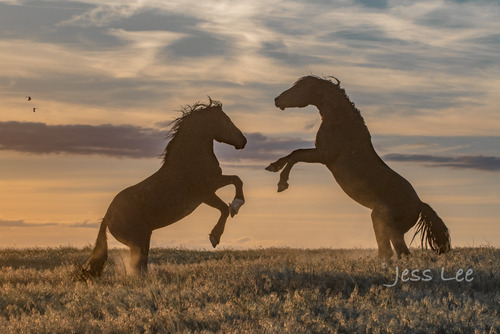 Wyoming Wildhorses