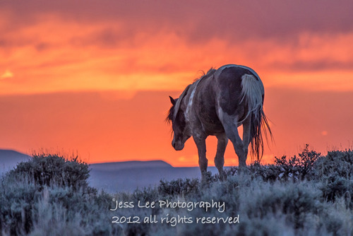 Wyoming Mustang at sunset