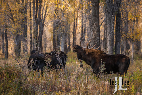 Teton Moose in Autumn rut
