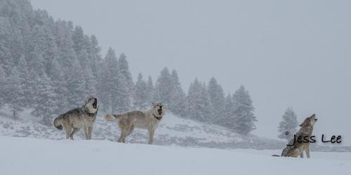 wild_wolf--107-2(1).jpg