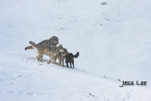 wild_wolf--127-2(1).jpg