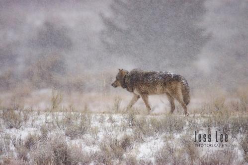 wild_wolf--300-Edit(1).jpg