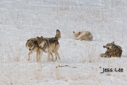 wild_wolf--78-3(1).jpg