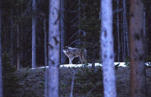 wild_wolf--8.jpg