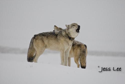 wild_wolf-0384-2(1).jpg