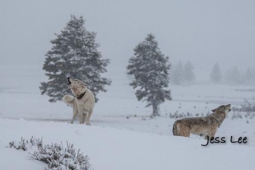 wild_wolf-0398-2(1).jpg