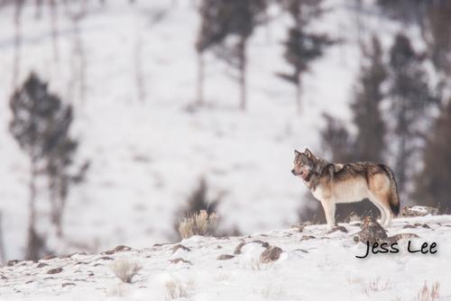 wild_wolf-0442-2(1).jpg