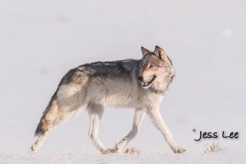 wild_wolf-0574-2-2(1).jpg