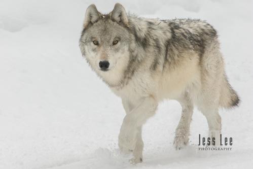 wild_wolf-0658-2horz-2(1).jpg