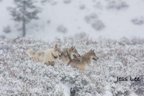 wild_wolf-0846-2(1).jpg