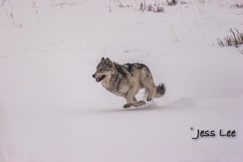 wild_wolf-1-10-2(1).jpg