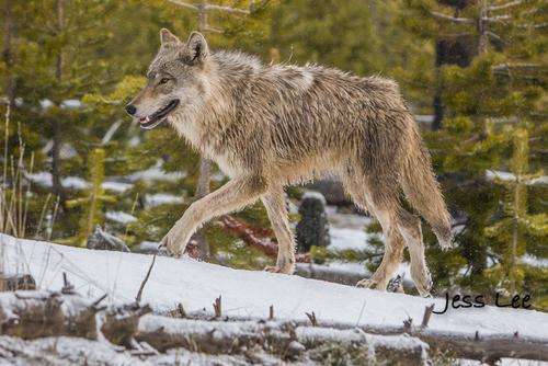 wild_wolf-1-136-2(1).jpg