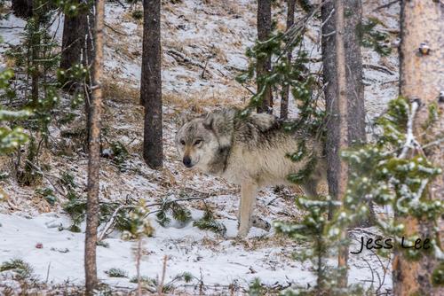 wild_wolf-1-162-2(1).jpg