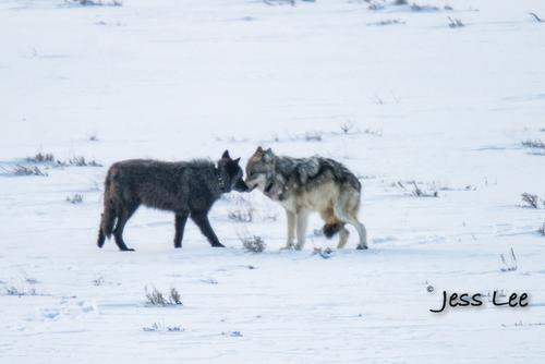 wild_wolf-1-31-2(1).jpg