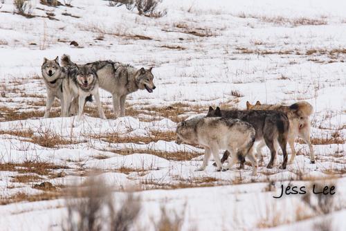 wild_wolf-1-44-2(1).jpg