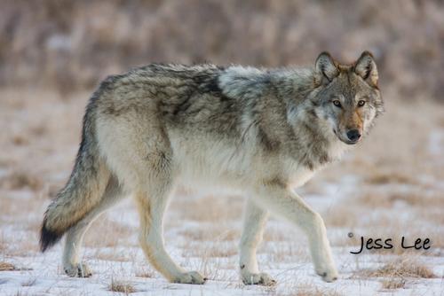 wild_wolf-1521-2(1).jpg