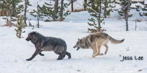 wild_wolf-1563-2(1).jpg