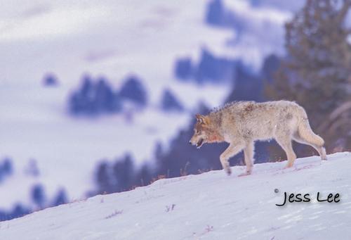 wild_wolf-16618-2(1).jpg