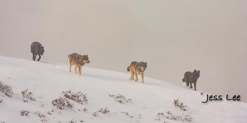 wild_wolf-1662-2(1).jpg