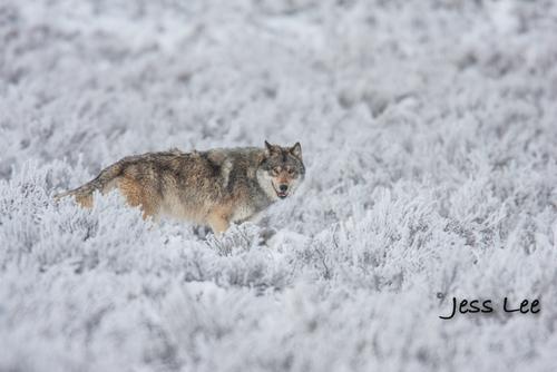 wild_wolf-1749-2(1).jpg