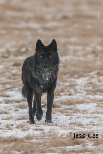 wild_wolf-1850-2(1).jpg