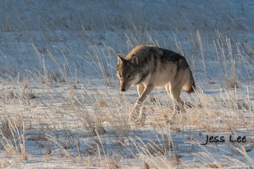 wild_wolf-4203(1).jpg