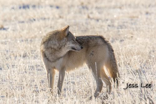 wild_wolf-4251(1).jpg