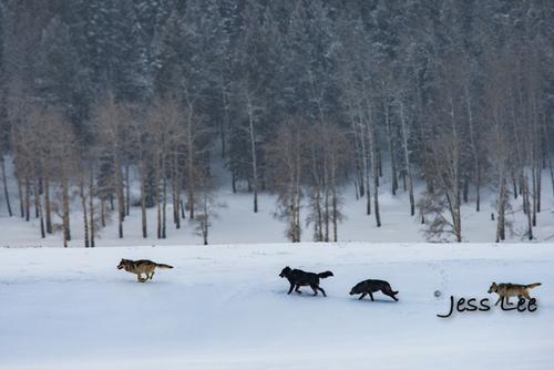wild_wolf-4605-2(1).jpg