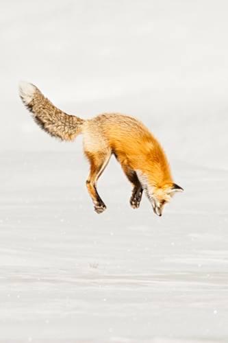 winterfoxdive(1).jpg