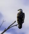 eagle canvas(1).jpg