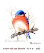 GNOR-895-Male Bluebird  350(1).jpg