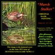 OR130 Marsh Stalker - American Bittern  96.jpg
