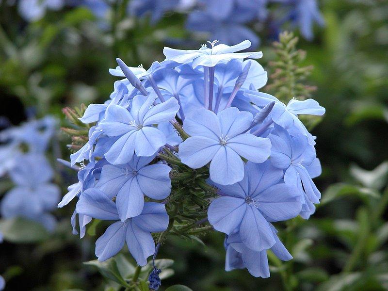 blue-flower11.jpg