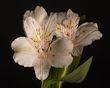 White Lily - FS 2-8-20-1.jpg