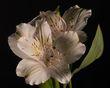 White Lily FS-1-2-9-20-1.jpg