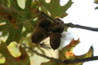 Acorns in Forest Park.jpg