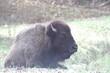 Bison in Lone Elk Park 2019.jpg