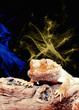 George the Bearded Dragon.jpg