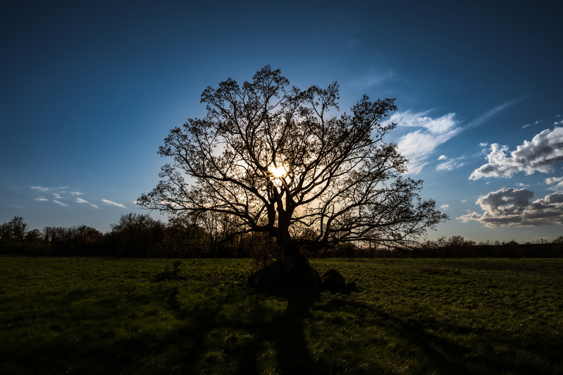 UP6_2061.jpg :: An oak tree in a field being silhouetted by the sun