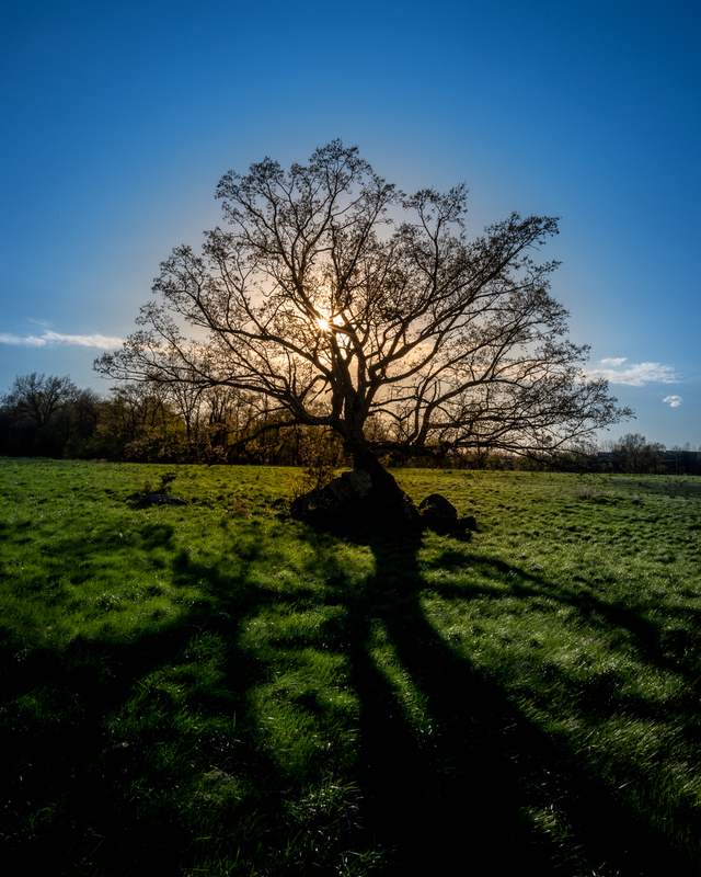 UP6_2071.jpg :: An oak tree in a field being silhouetted by the sun