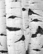 Aspen Trunks D.jpg