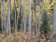 Aspens and Sumac Fall.jpg